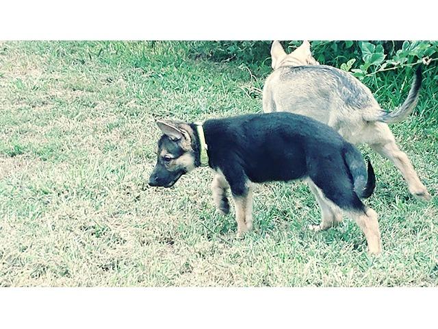 Purebred German Shepherd Puppies In Sangamon County Illinois Lee